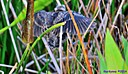 Juvenile Red Winged Blackbird by Marilynne in Wildlife