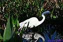 Great Egret by Marilynne in Almost