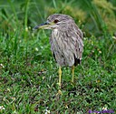 Immature Black Crowned Night Heron by Marilynne