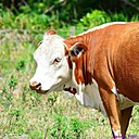 Cow by Marilynne in Wildlife