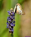 Pickerelweed Butterfly by Marilynne in Critters
