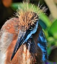 Juvenile TriColor Heron by Marilynne