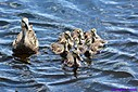 Mottled Duck and ducklings by Marilynne in Wildlife