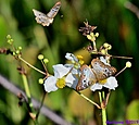 White Peacock Butterfly by Marilynne
