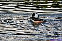 Hooded Merganser by Marilynne in Wildlife