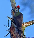 Pileated Woodpecker by Marilynne
