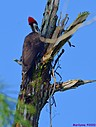 Pileated Woodpecker by Marilynne in Wildlife