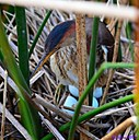 Least Bittern and her eggs by Marilynne