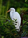 Juvenile Great Egret by Marilynne in Wildlife