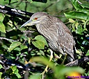 Black Crowned Night Heron by Marilynne in Wildlife