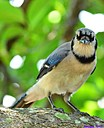 Blue Jay by Marilynne in Wildlife