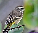 Palm Warbler by Marilynne in Almost