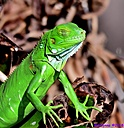 Knight Anole by Marilynne in Critters