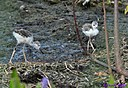 Juvenile Black Necked Stilt