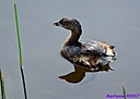 Pied Billed Grebe by Marilynne in Wildlife