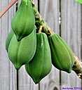Papaya by Marilynne in Plants