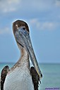 Brown Pelican by Marilynne in Wildlife