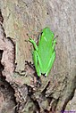 Tree Frog by Marilynne in Critters