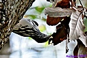 Black and White Warbler by Marilynne
