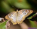White Peacock Butterfly by Marilynne in Wildlife