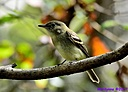 Yellow Bellied Flycatcher by Marilynne in Wildlife