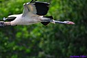 Juvenile Woodstorks by Marilynne in Almost