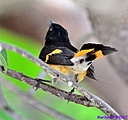 American Redstart by Marilynne in Wildlife