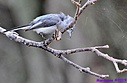 Blue Gray Gnatcatcher by Marilynne in Almost