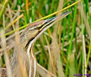American Bittern by Marilynne in Wildlife