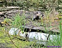 Otter by Marilynne in Wildlife