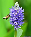Pickerelweed Bee by Marilynne in Critters