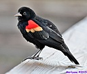 Red Winged Blackbird by Marilynne in Wildlife