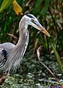 Great Blue Heron w/snake by Marilynne in Wildlife