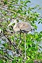 Immature Great Blue Heron by Marilynne