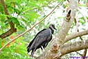 Black Vulture by Marilynne in Wildlife
