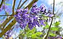 Jacaranda Tree Flower by Marilynne in Plants
