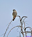 American Kestrel by Marilynne in Wildlife