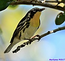 Yellow Throated Warbler by Marilynne