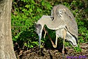 Great Blue Heron by Marilynne in Wildlife