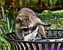 Racoon by Marilynne in Critters