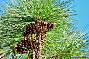 Pine Cones by Marilynne in Landscape