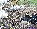Wood Stork Anhinga by Marilynne in Wildlife