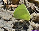 Cloudless Sulfer Butterfly by Marilynne in Critters