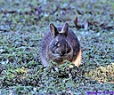 Marsh Rabbit by Marilynne