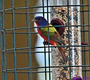 Male Painted Bunting by Marilynne in Wildlife