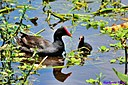 Juvenile Moorhen and momma by Marilynne in Wildlife