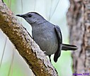Grey Catbird by Marilynne in Wildlife