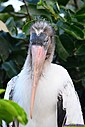 Juvenile Wood Stork by Marilynne