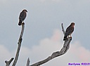 Red Shouldered Hawk by Marilynne