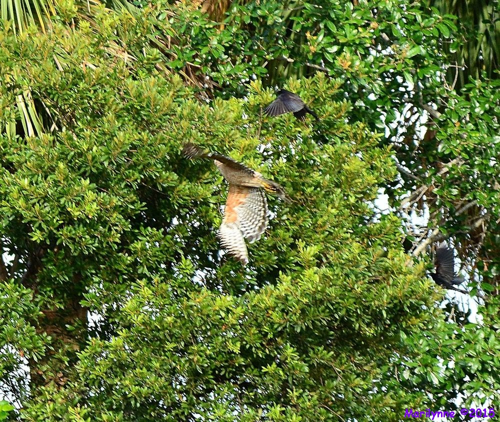 Red Shouldered Hawk by Marilynne in Almost